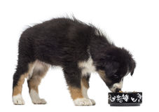 Filhote de cachorro australiano do pastor, 2 meses velho Fotos de Stock Royalty Free
