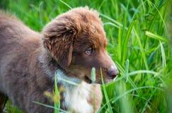 Filhote de cachorro australiano do pastor Imagem de Stock Royalty Free