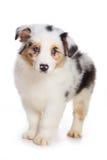 Filhote de cachorro australiano do pastor Fotos de Stock Royalty Free