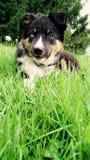 Filhote de cachorro australiano do pastor imagem de stock