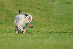 Filhote de cachorro australiano do pastor australiano com brinquedo imagens de stock royalty free