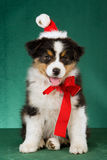 Filhote de cachorro australiano do pastor com chapéu de Santa Fotografia de Stock