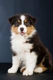 Filhote de cachorro australiano do pastor no fundo preto Foto de Stock Royalty Free