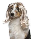 Filhote de cachorro australiano do pastor que desgasta uma peruca Fotos de Stock