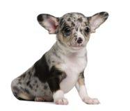 Filhote de cachorro azul da chihuahua do merle, 8 semanas velho Foto de Stock Royalty Free