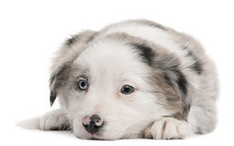 Filhote de cachorro azul do Collie de beira de Merle, 6 semanas velho Imagem de Stock