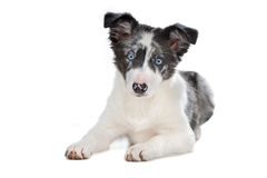 Filhote de cachorro azul do collie de beira do merle Foto de Stock Royalty Free
