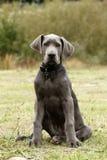 Filhote de cachorro azul do grande dinamarquês II Imagem de Stock