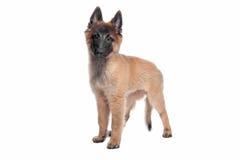 Filhote de cachorro belga do pastor (Tervuren) imagens de stock
