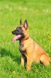 Filhote de cachorro belga do sheepdog fotografia de stock