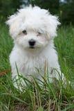 Filhote de cachorro bolonhês doce Foto de Stock