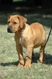 Filhote de cachorro bonito Imagens de Stock Royalty Free