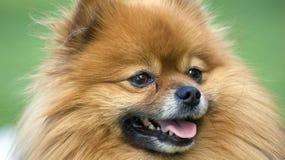 Filhote de cachorro bonito Fotografia de Stock