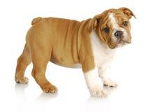 Filhote de cachorro bonito Foto de Stock Royalty Free