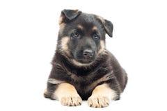 Filhote de cachorro bonito Imagem de Stock