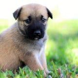 Filhote de cachorro bonito de Brown Imagem de Stock