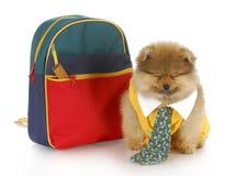 Filhote de cachorro bonito com saco de escola imagens de stock royalty free