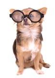 Filhote de cachorro bonito com vidros grossos do diopter elevado Foto de Stock