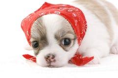 Filhote de cachorro bonito da chihuahua com bandana vermelho Imagens de Stock