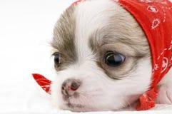 Filhote de cachorro bonito da chihuahua com o bandanna vermelho Foto de Stock