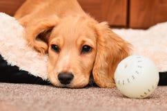 Filhote de cachorro bonito de cocker spaniel Imagens de Stock Royalty Free