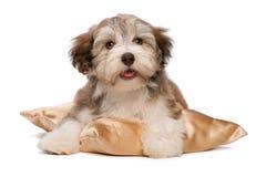 Filhote de cachorro bonito de Havanese do chocolate Imagens de Stock