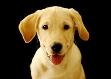 Filhote de cachorro bonito de labrador retriever sobre o preto Fotos de Stock