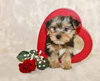 Filhote de cachorro bonito de Morkie Fotos de Stock Royalty Free