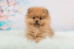 Filhote de cachorro bonito de Pomeranian Fotografia de Stock