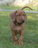 Filhote de cachorro bonito de Rhodesian Ridgeback Fotografia de Stock