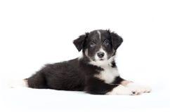 Filhote de cachorro bonito do collie de beira Imagens de Stock Royalty Free