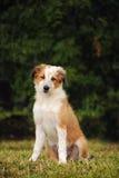 Filhote de cachorro bonito do collie de beira Fotografia de Stock