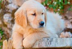 Filhote de cachorro do golden retriever Fotografia de Stock Royalty Free