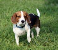 Filhote de cachorro bonito do lebreiro Fotografia de Stock