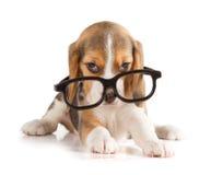 Filhote de cachorro bonito do lebreiro Imagens de Stock
