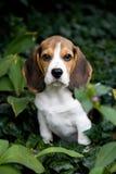 Filhote de cachorro bonito do lebreiro no parque Fotografia de Stock