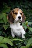 Filhote de cachorro bonito do lebreiro no parque Fotos de Stock Royalty Free