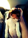 Filhote de cachorro bonito do lebreiro que coloca em seu para trás imagens de stock