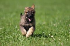 Filhote de cachorro bonito do pastor alemão Imagens de Stock