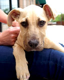 Filhote de cachorro bonito do Retriever de Labrador fotos de stock royalty free