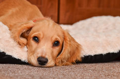 Filhote de cachorro bonito do Spaniel de Cocker Fotografia de Stock