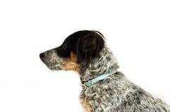 Filhote de cachorro bonito do terrier Fotografia de Stock
