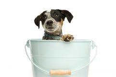 Filhote de cachorro bonito do terrier em uma cubeta Foto de Stock