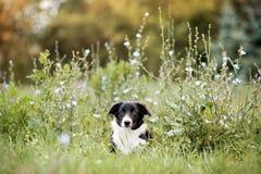 Filhote de cachorro bonito de border collie Foto de Stock