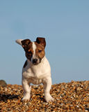 Filhote de cachorro bonito na praia Fotos de Stock