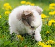 Filhote de cachorro bonito nas flores Imagens de Stock Royalty Free
