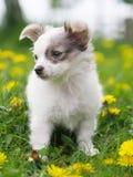Filhote de cachorro bonito nas flores Imagem de Stock Royalty Free