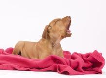 Filhote de cachorro bonito no cobertor cor-de-rosa, urrando Fotos de Stock