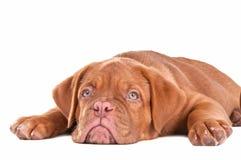 Filhote de cachorro bonito no fundo branco Foto de Stock Royalty Free