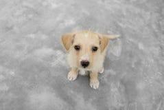 Filhote de cachorro bonito que olha acima Fotografia de Stock Royalty Free